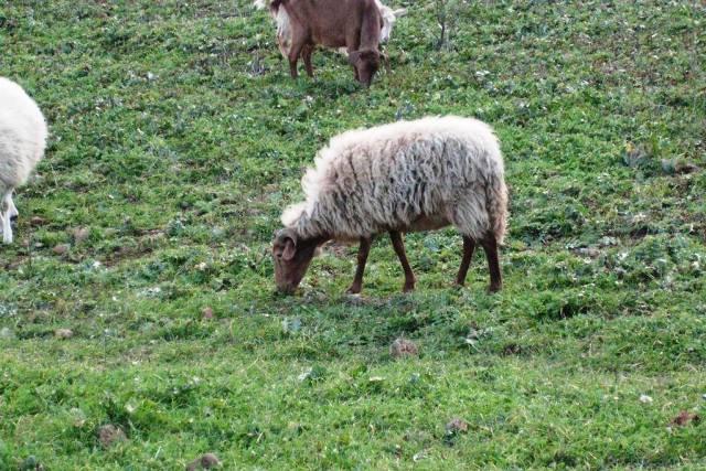Πρόβατο κάτσενο,